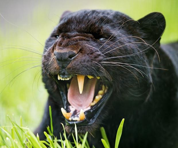 macchie nere sui denti di una pantera